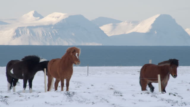 icelandic horses - reykjavik stock videos and b-roll footage