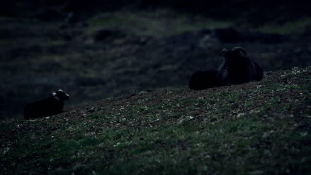 isländische landschaft. schafe, ruht auf einem berghang - kleine gruppe von tieren stock-videos und b-roll-filmmaterial