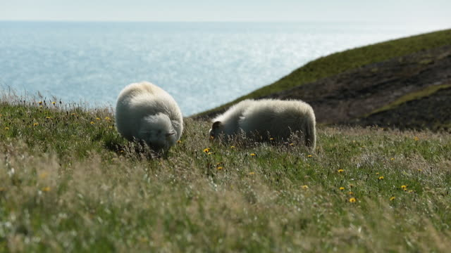 icelandic sheeps on the meadow in windy weather. - schaf stock-videos und b-roll-filmmaterial