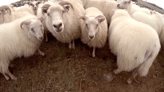 icelandic sheeps - lamb animal stock videos and b-roll footage