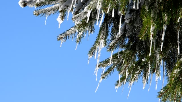 Icicles on a spruce tree in the wind, Rhoen mountain
