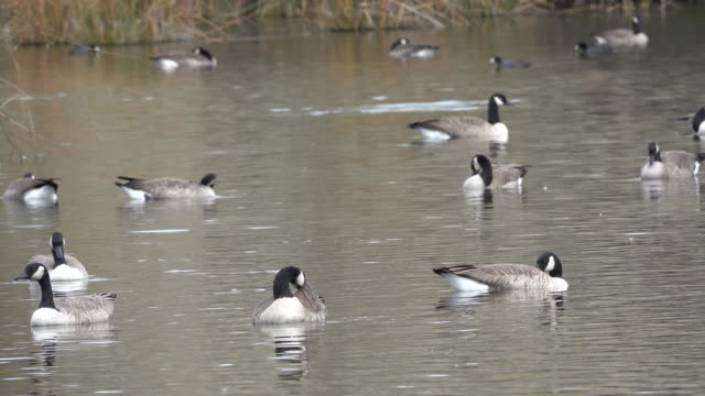 idaho geese swimming on a backwater - backwater stock videos & royalty-free footage