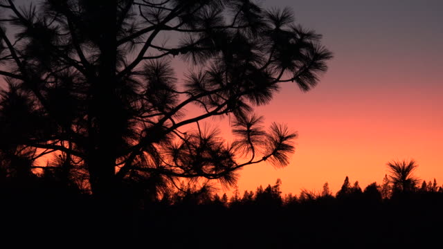 Idaho pine branches against red sky