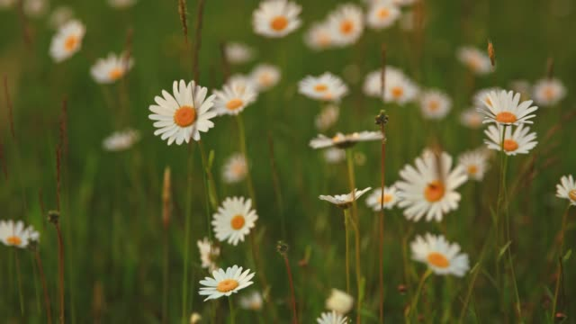 idyllic daisy wildflowers blowing in wind, real time - wildflower stock videos & royalty-free footage