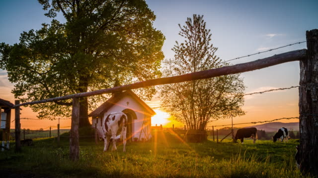 crane: idyllic farm with cattle back lit by warm sunset light - 4k nature/wildlife/weather - crane shot stock videos and b-roll footage