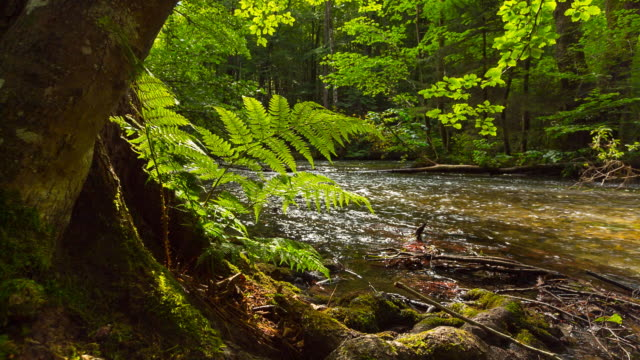 Idyllic forest stream, beech trees and fern, pan down