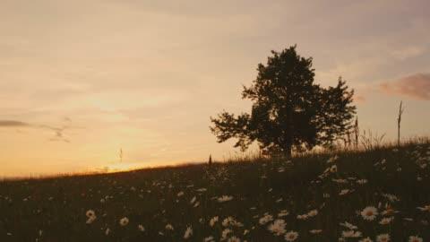 vídeos y material grabado en eventos de stock de prado al atardecer idílico con flores silvestres y árboles, en tiempo real - hierba familia de la hierba