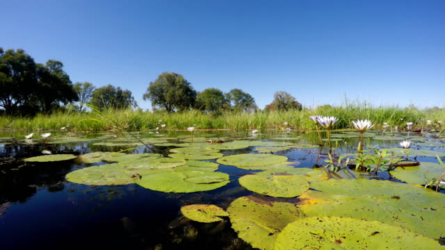 Idyllic tropical landscape. Water lilies on the river surface