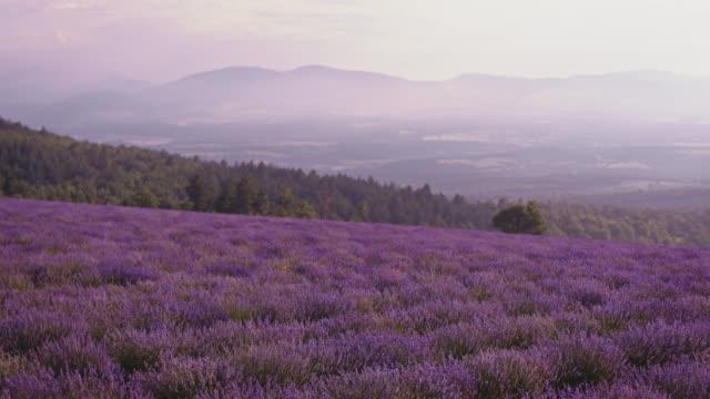 空に対するラベンダー畑の牧歌的な眺め - 植物 ラベンダー点の映像素材/bロール