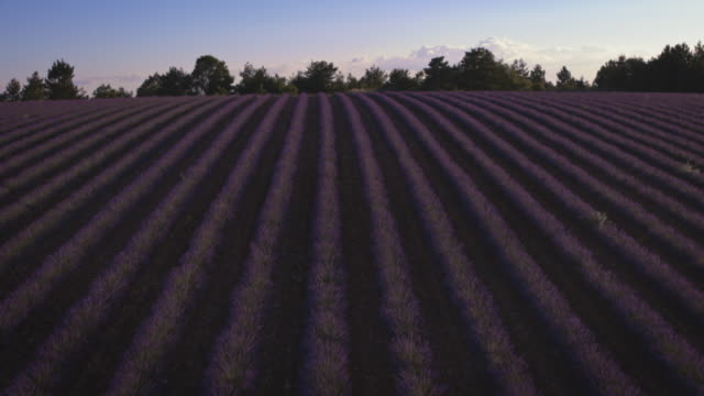 idyllic view of parallel lavender plants on field - grounds stock videos & royalty-free footage
