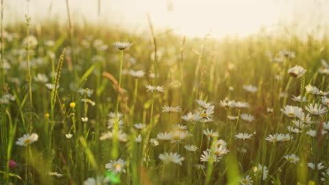 ms 牧歌的な静かなデイジーの日当たりの良い草原で野の花 - grass点の映像素材/bロール