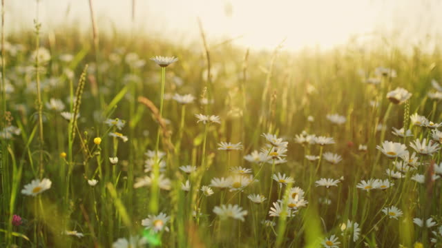 vídeos de stock e filmes b-roll de ms idyllic,tranquil daisy wildflowers in sunny meadow - campo