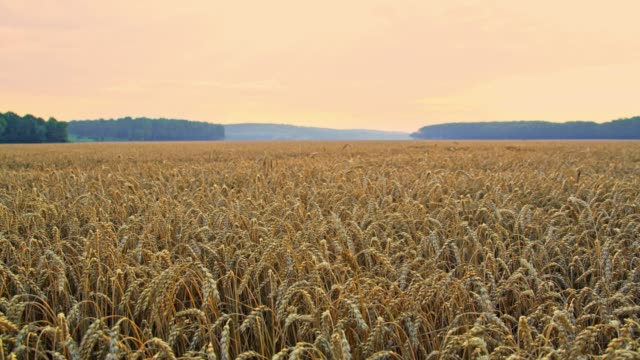 idyllic,tranquil,rural wheat field,slow motion - wheat stock videos and b-roll footage