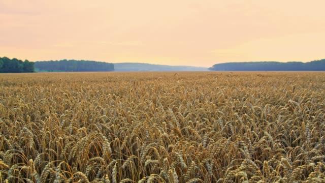 Champ de blé d'idyllique, paisible, rural, slow motion