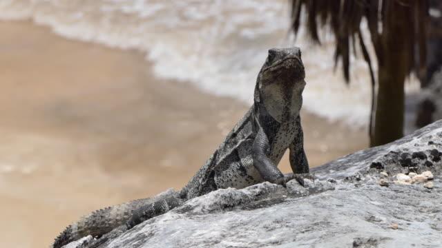 iguana basking on rock overlooking ocean at tulum mayan ruins - tulum mexico stock videos & royalty-free footage