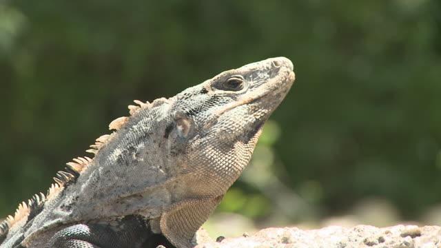 CU, Iguana basking on rocks, headshot, Playa del Carmen, Quintanaroo, Mexico