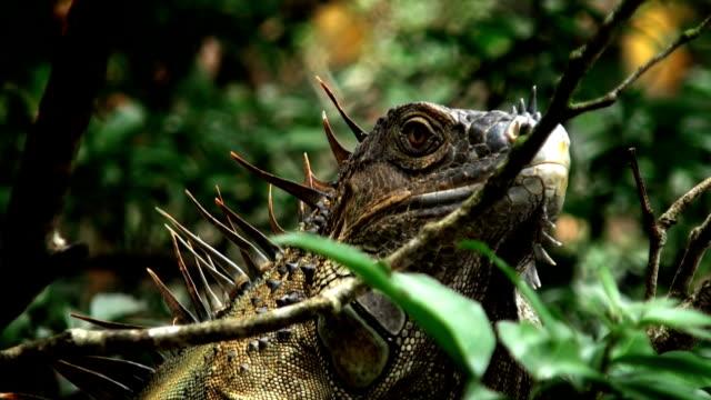 vídeos de stock e filmes b-roll de iguana plano aproximado - réptil