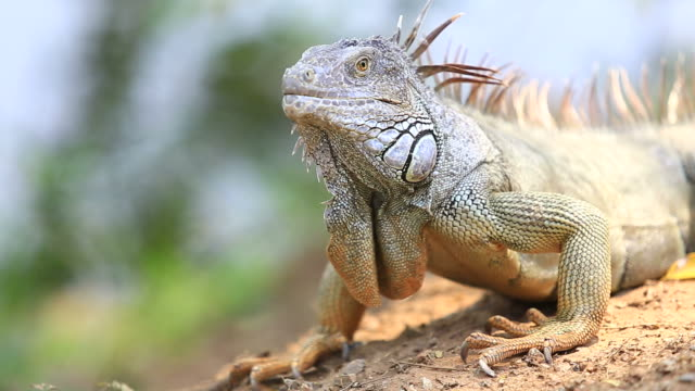 iguana close up - galapagos islands stock videos & royalty-free footage