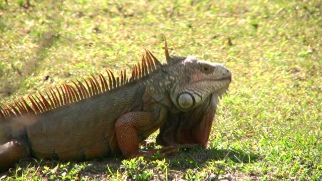 iguana closeup - herbivorous stock videos & royalty-free footage