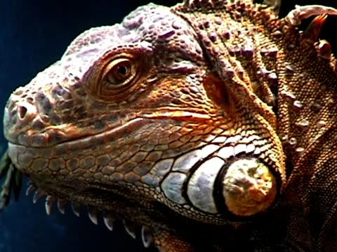 vídeos de stock, filmes e b-roll de feeds de iguana - saliva de animal