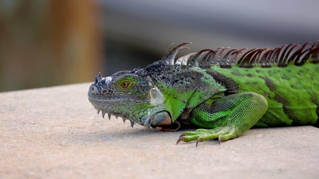 CU of iguana in harbor
