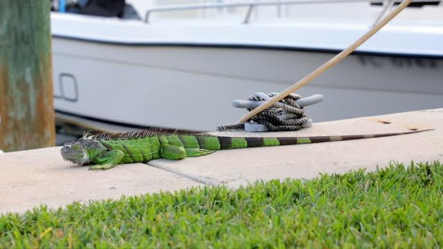 ws of iguana in harbor - iguana stock videos & royalty-free footage