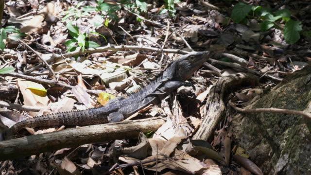 iguana in jungle - provinz puntarenas stock-videos und b-roll-filmmaterial