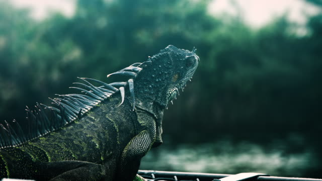 iguana in miami - erbivoro video stock e b–roll