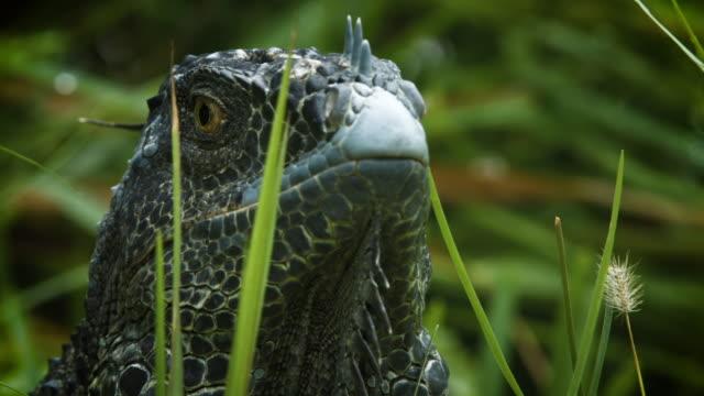 vídeos y material grabado en eventos de stock de iguana in miami - anfibio