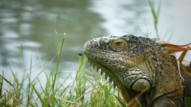 iguana in miami - erbivoro video stock e b–roll