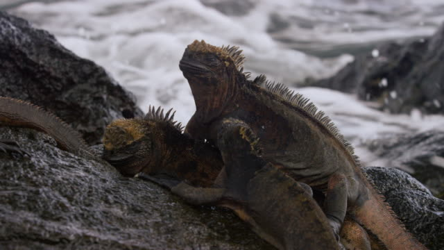 iguana in the galapagos - galapagosinseln stock-videos und b-roll-filmmaterial