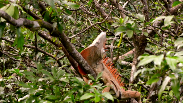 iguana in wild - nicaragua stock videos & royalty-free footage