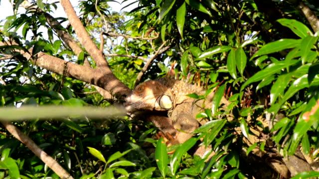 iguana in wild - iguana stock videos & royalty-free footage