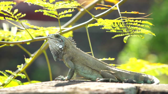 iguana lizard soaking up the sun in tropical forest - guyana stock videos & royalty-free footage