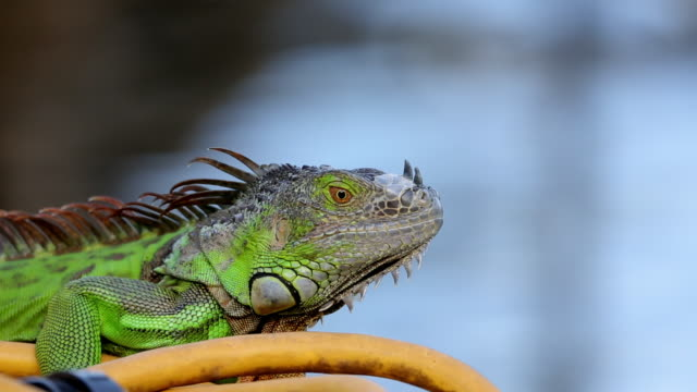 Iguana looking around and leaving