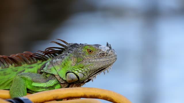 iguana looking around and leaving - iguana stock videos & royalty-free footage