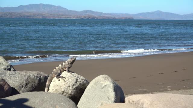 LS Iguana on the rock