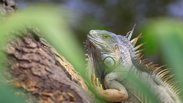 Leguan auf die tree
