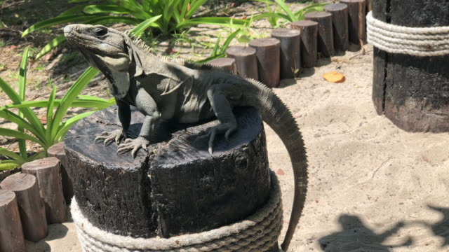 iguana over a wood chair - cancun stock videos & royalty-free footage