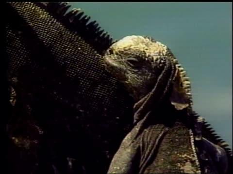 iguana population damaged by oil spill; lib galapagos islands: ext marine iguanas sitting on rocks air view oil slick from stricken tanker - ガラパゴス諸島点の映像素材/bロール