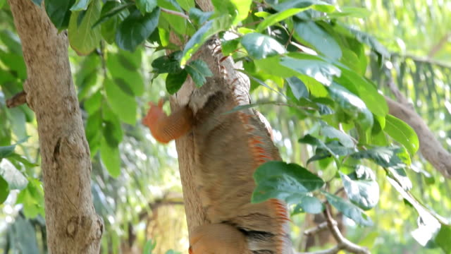 iguana reptile climb tree - iguana stock videos & royalty-free footage