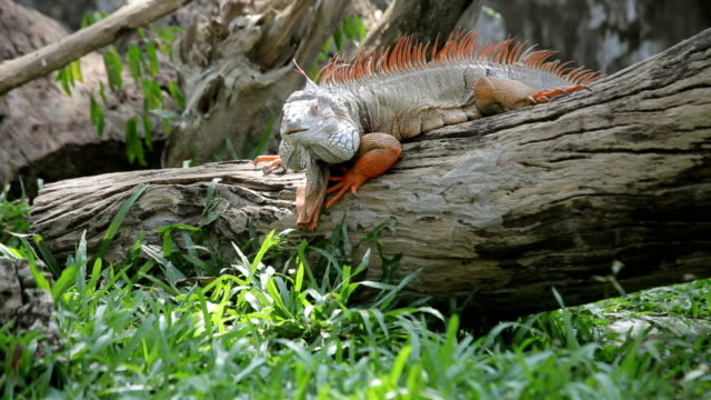 iguana reptile climb tree - extinct stock videos & royalty-free footage