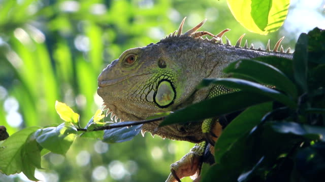 iguana reptile sitting on the tree - iguana stock videos & royalty-free footage