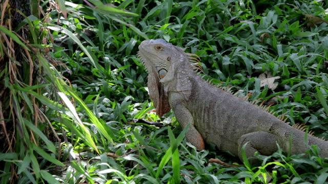 vídeos de stock, filmes e b-roll de réptil de iguana andando na grama gree - área arborizada