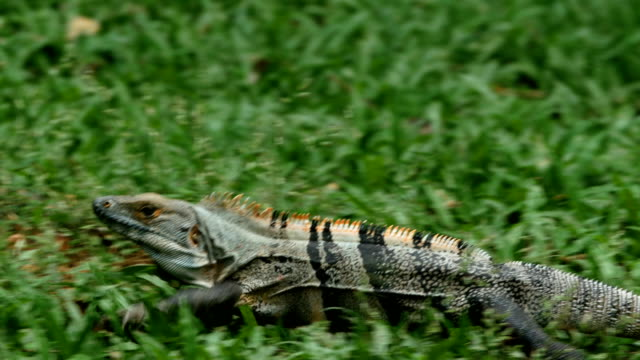iguana running on the grass - lizard stock videos and b-roll footage