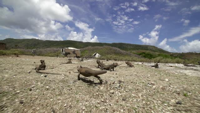 vídeos y material grabado en eventos de stock de iguana running - iguana de los galápagos