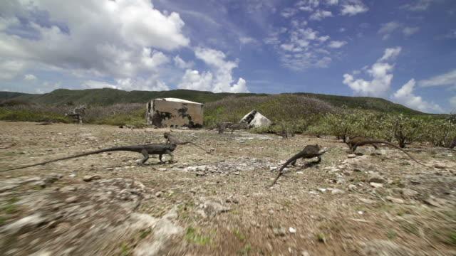 vídeos de stock e filmes b-roll de iguana running - iguana terrestre de galápagos