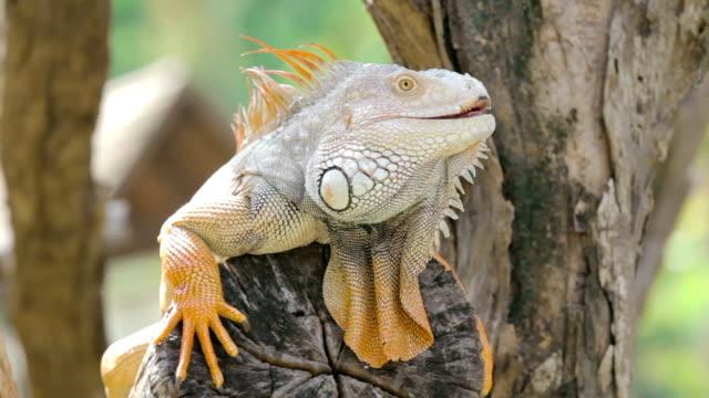 vídeos de stock e filmes b-roll de iguana sentado em uma árvore, close-up de um ramo - apanhar sol