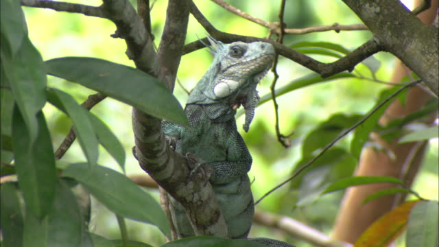 CU, LA,  Iguana sitting on tree, Brazil