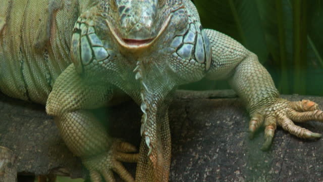iguana staring at camera - oesophagus stock videos & royalty-free footage